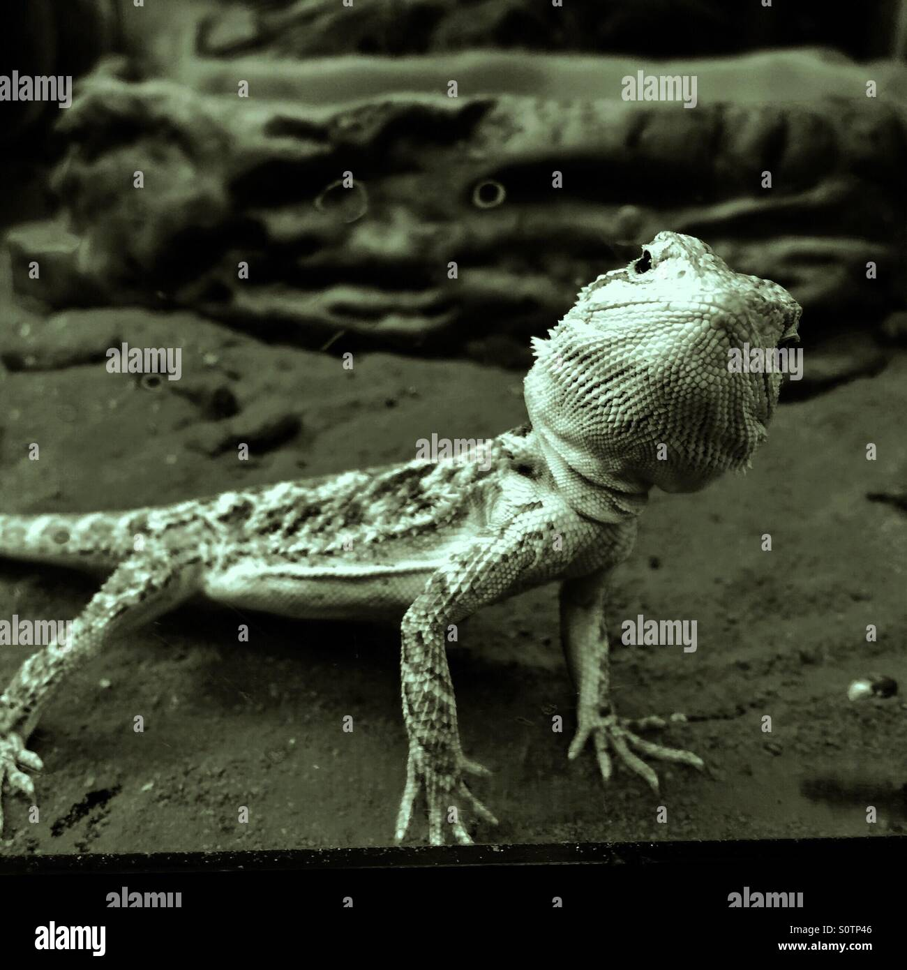 Belligerent Bearded Dragon Lizard - Stock Image