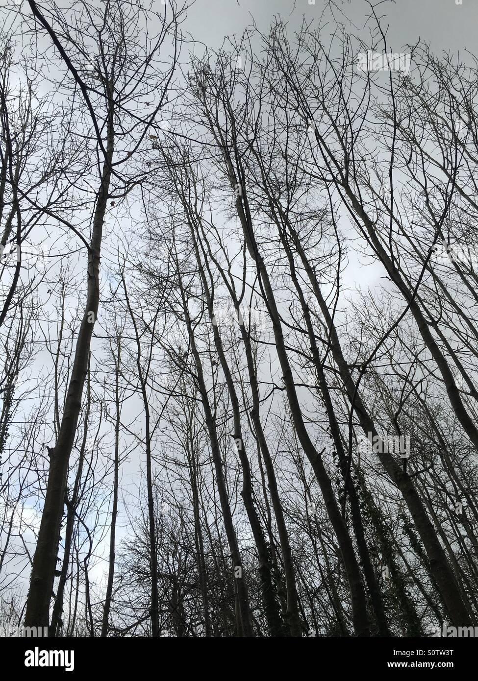 Silhouettes of woodland trees reaching into the sky - Stock Image