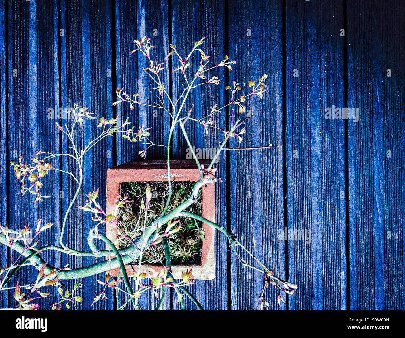 Japanese maple bonsai - Stock Image