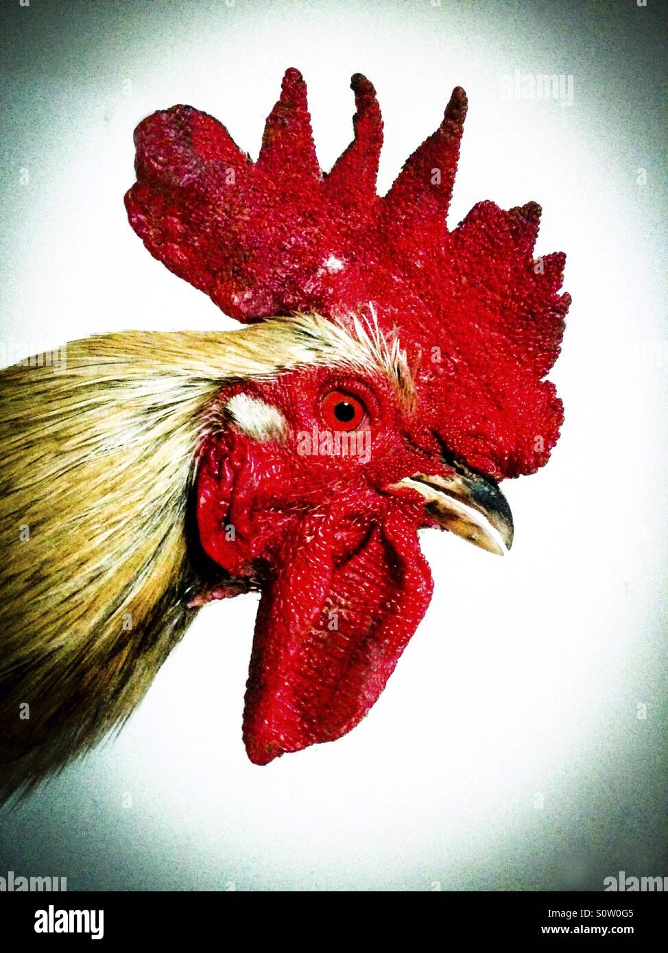 Rooster. - Stock Image