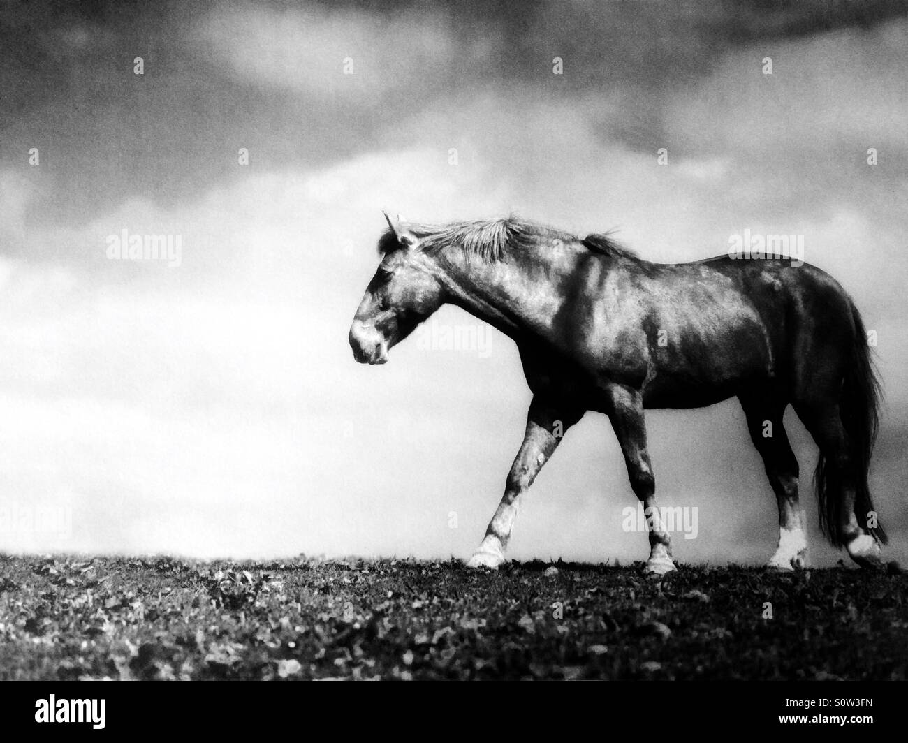 Horse walking through a winter field - Stock Image