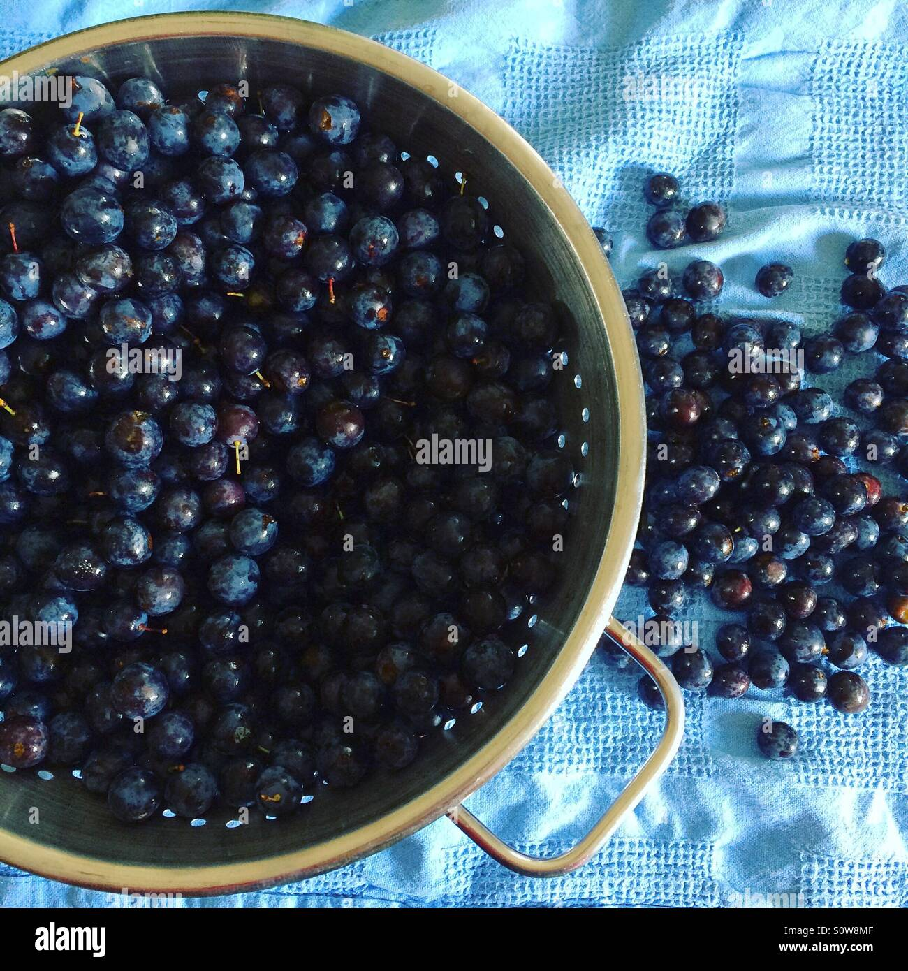 Sloes washed and ready to make sloe gin. - Stock Image