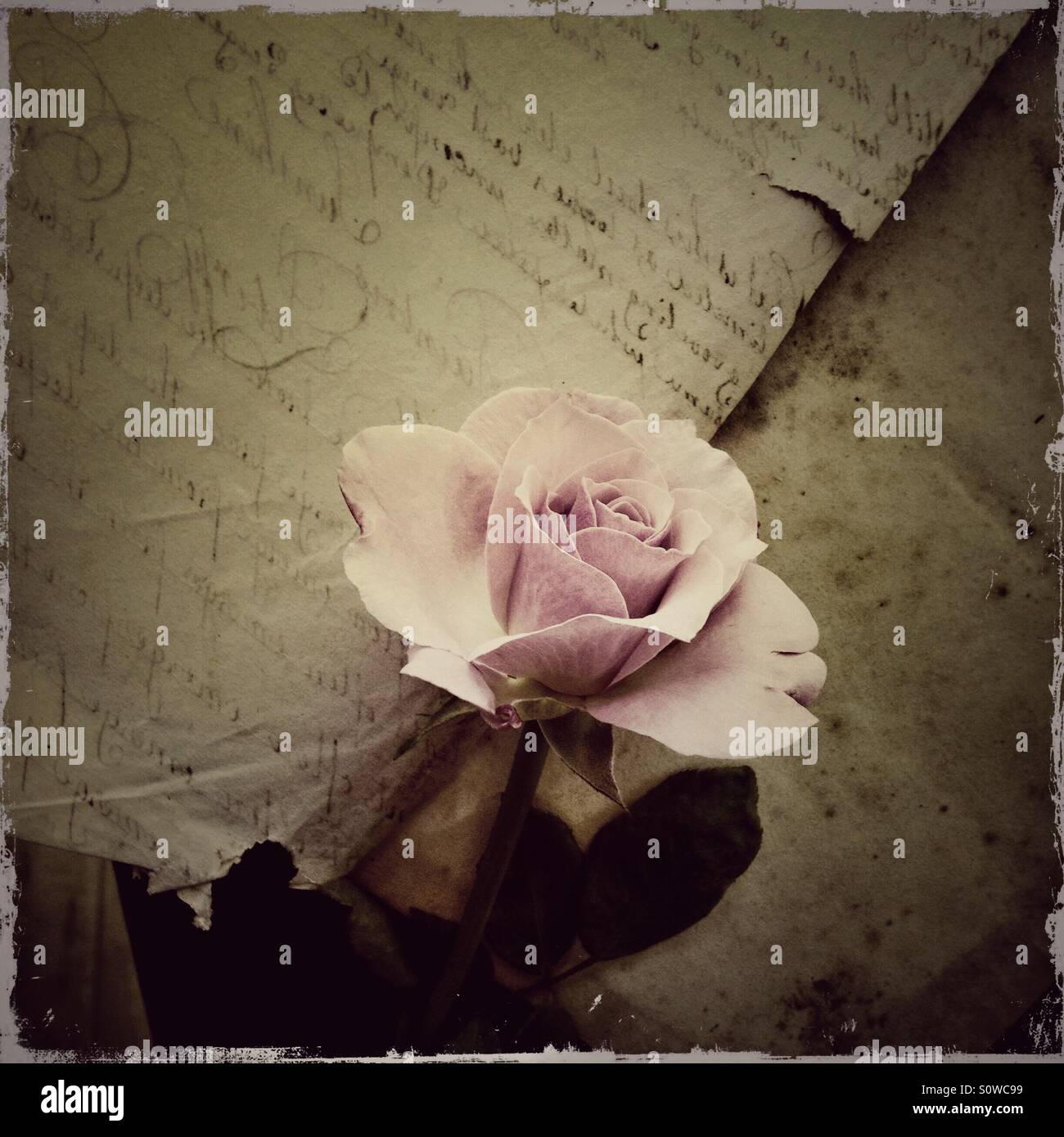 Pale pink rose on vintage document - Stock Image