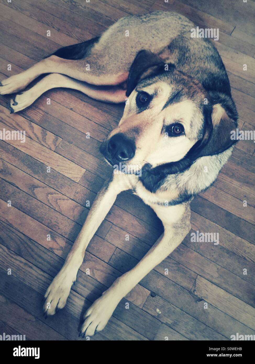 Rescue dog laying on a wood floor - Stock Image