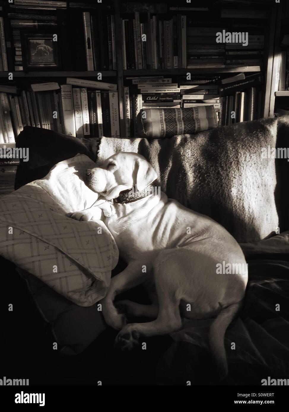 Dog asleep in the sun on a sofa - Stock Image