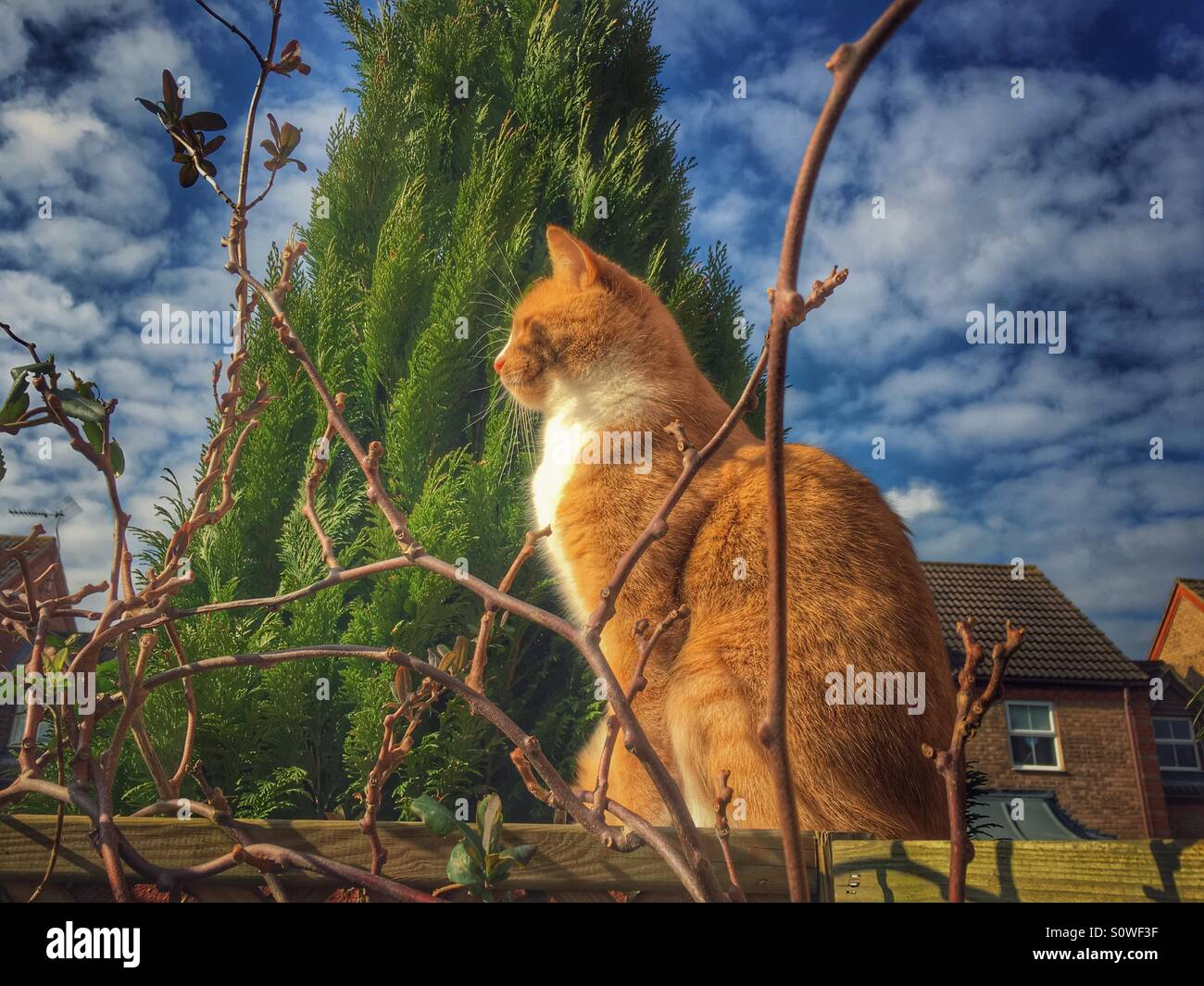 Ginger and white cat sitting on a wall enjoying the winter sun - Stock Image