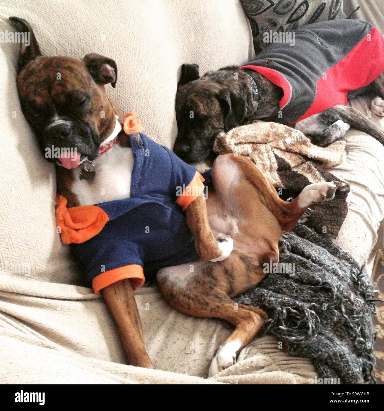 Funny dogs sleeping in jackets - Stock Image