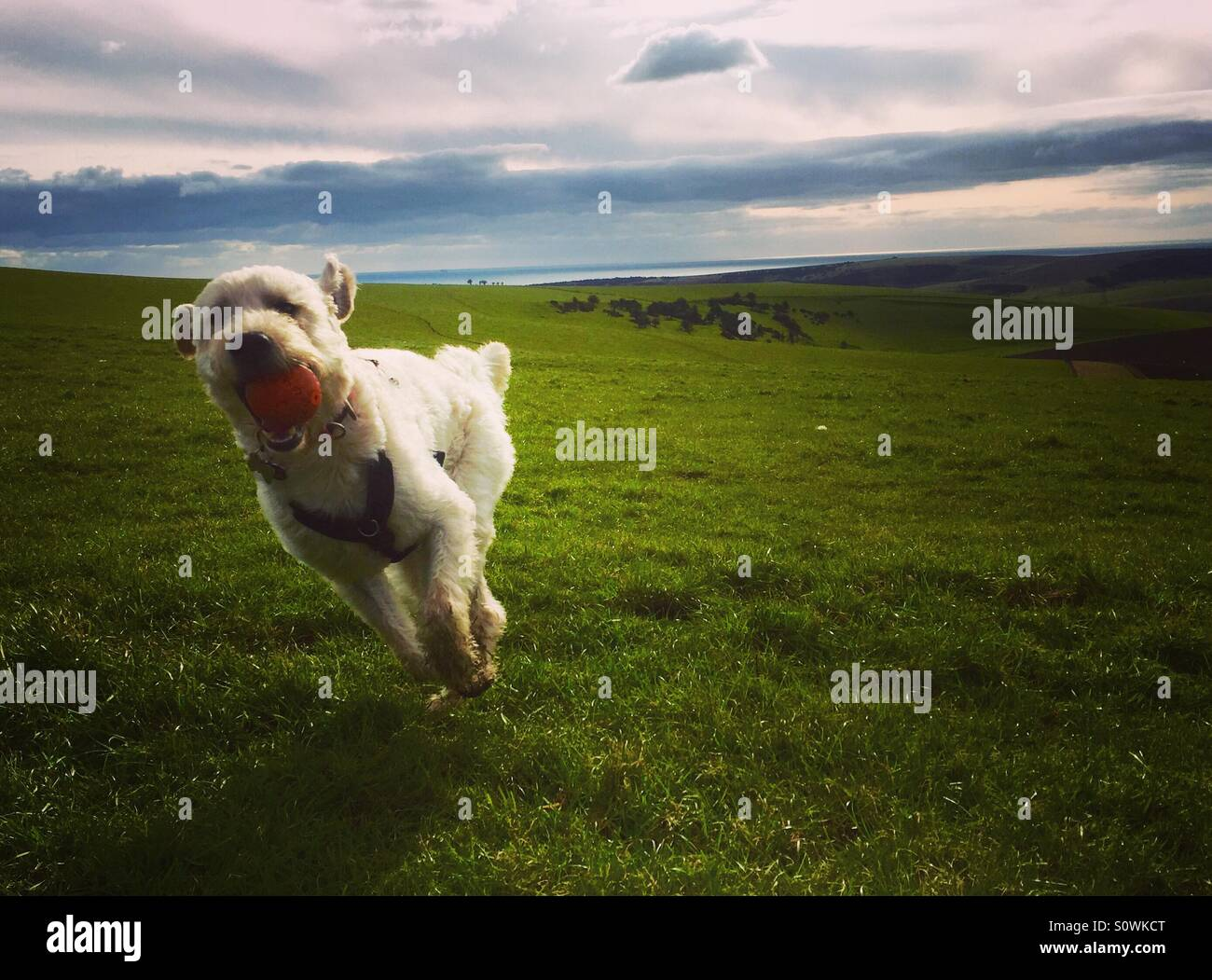 Sullivan the Labradoodle free in the fields - Stock Image
