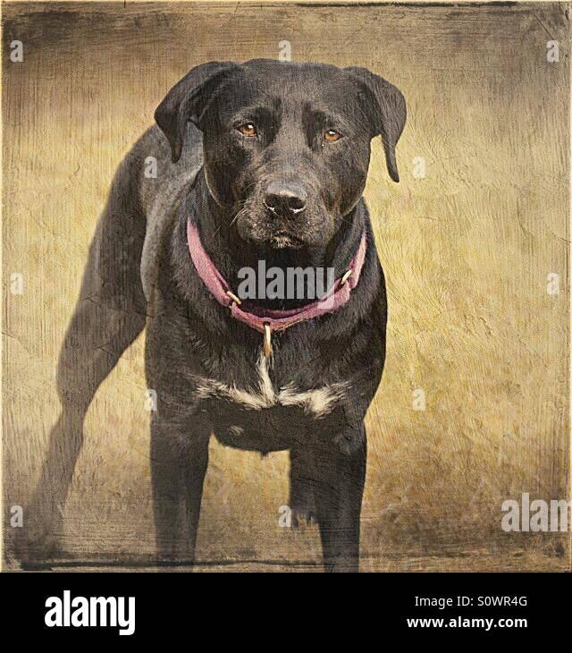 Labrador staffy cross dog - Stock Image