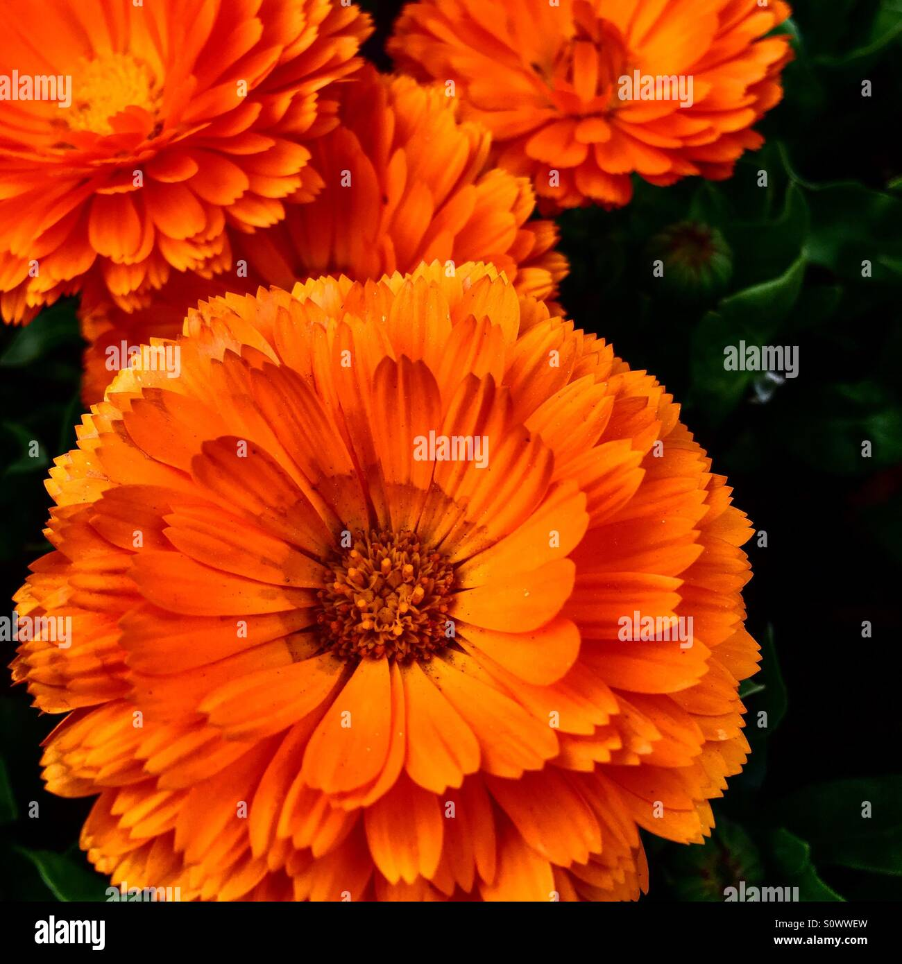Pretty Orange Flower Stock Photos Pretty Orange Flower Stock