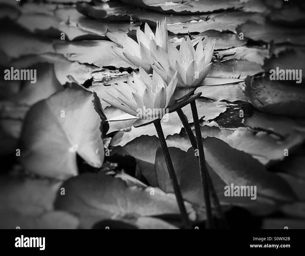 Lotus flowers - Stock Image
