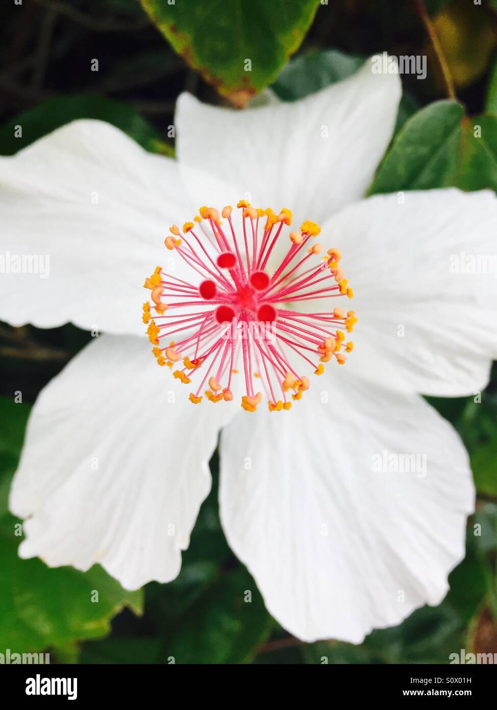 A White Hibiscus Flower Kauai Hawaii Usa Stock Photo 310357421
