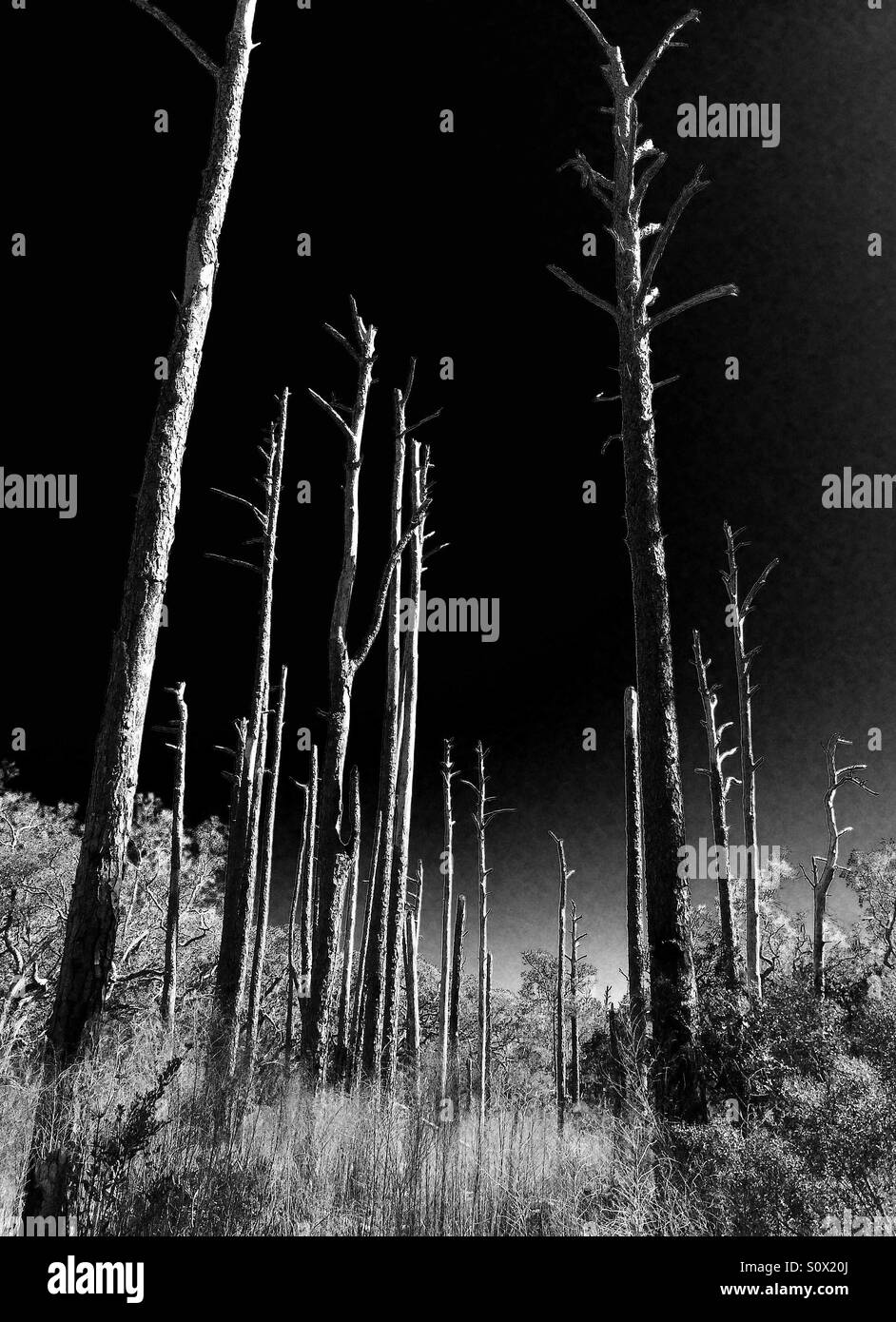 Branchless trees of a burned-out pine forest in Northeast Florida in black and white, March 2016 - Stock Image