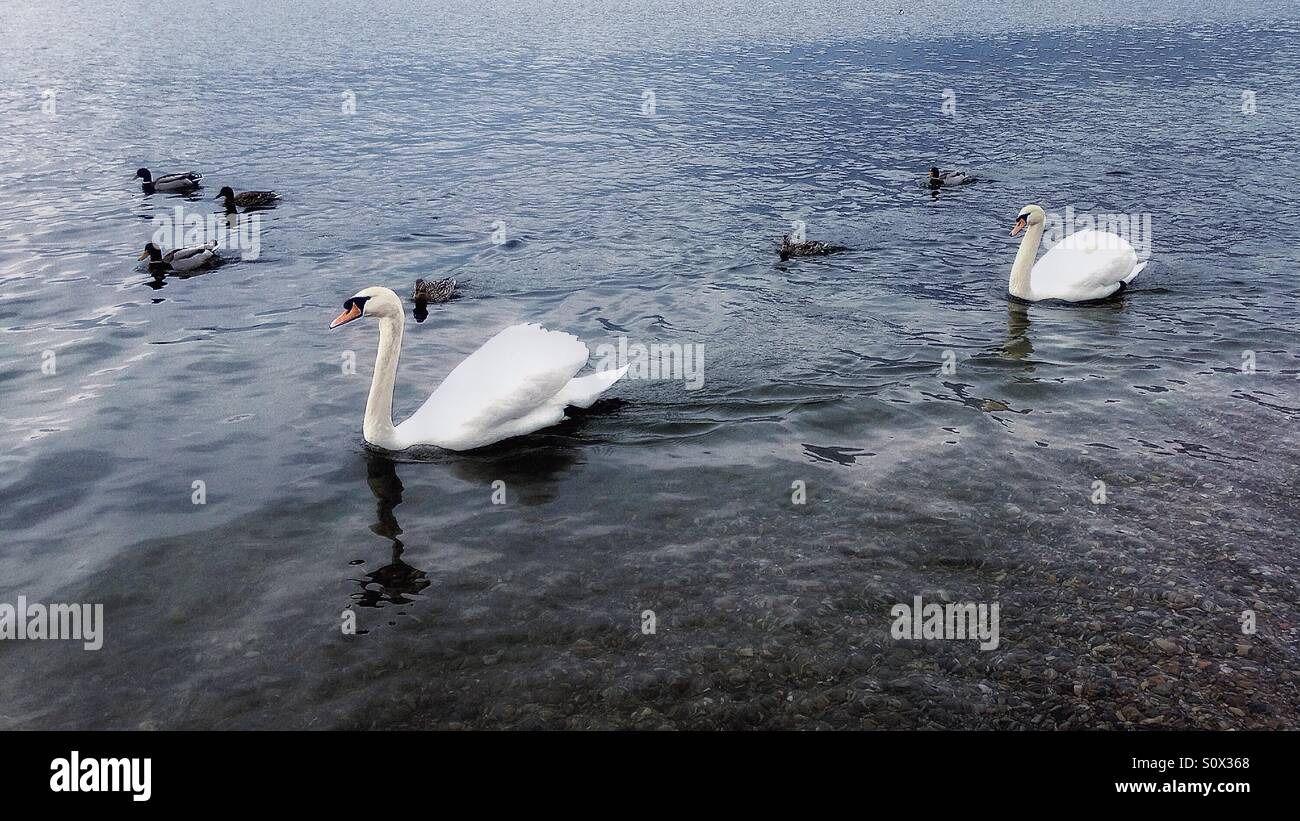 swans in Iseo lake - Stock Image