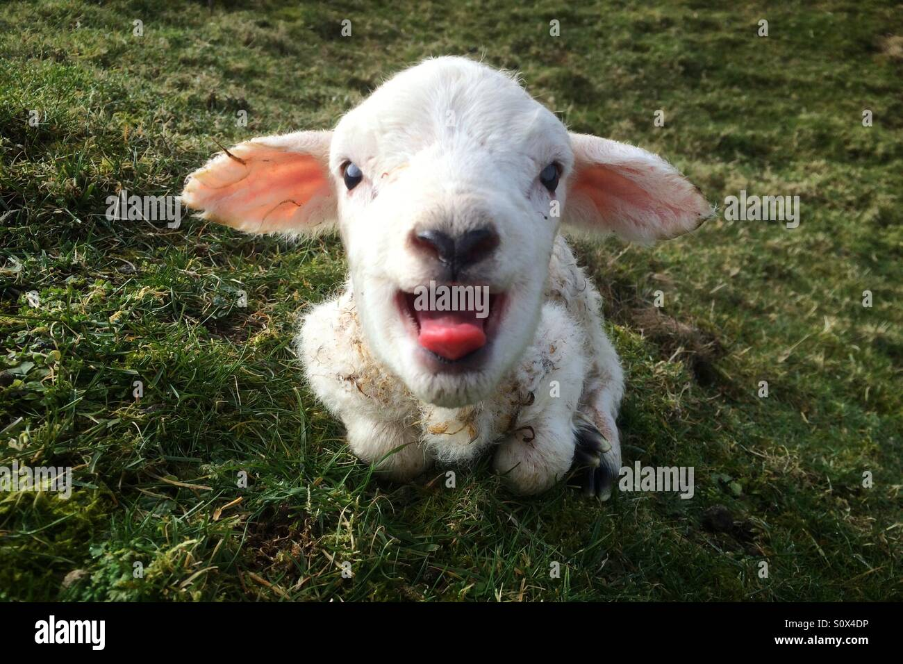 A new born lamb bleats for its mother on a farm in North Yorkshire. - Stock Image