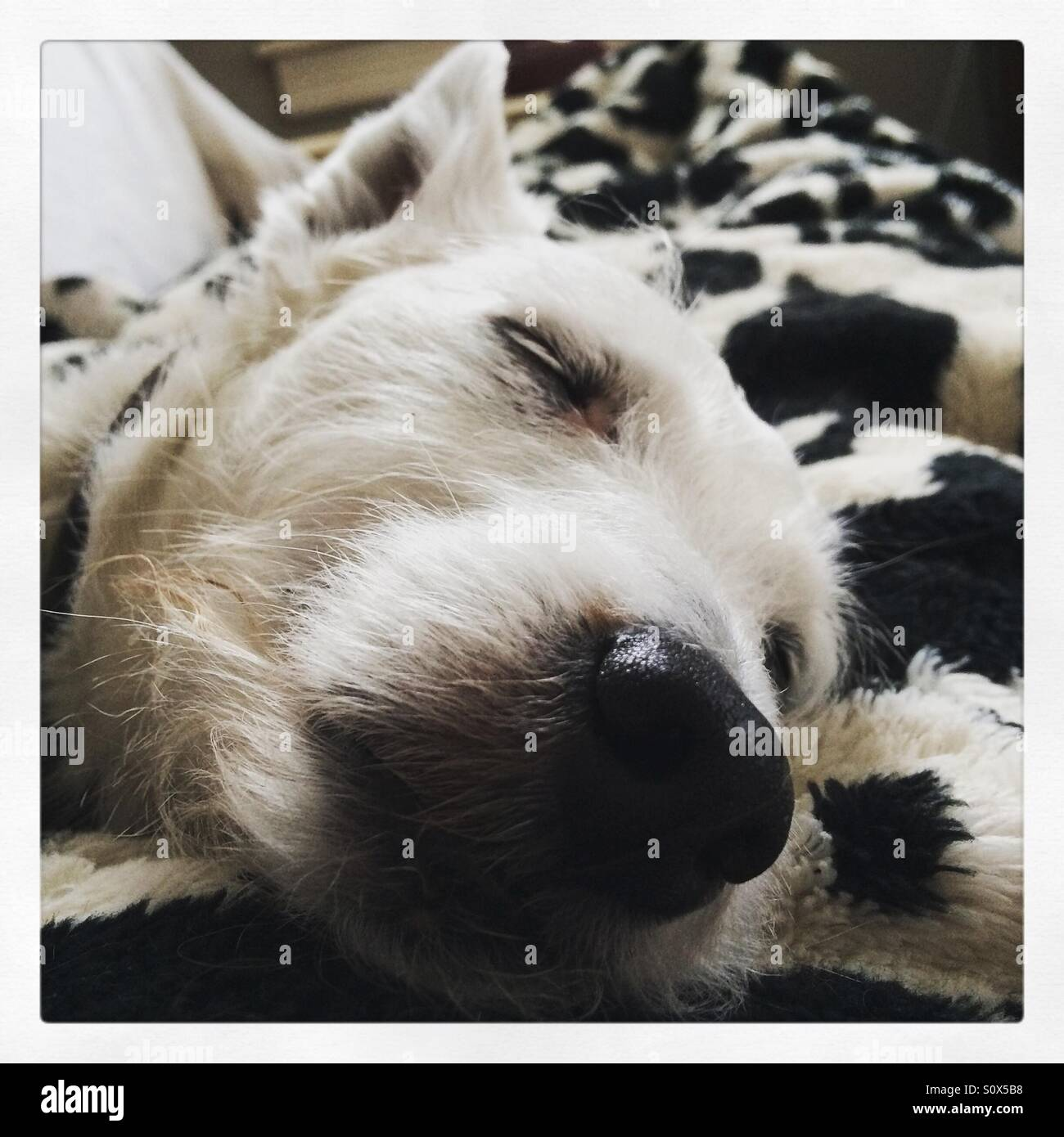 Jack Russell terrier face sleeping - Stock Image