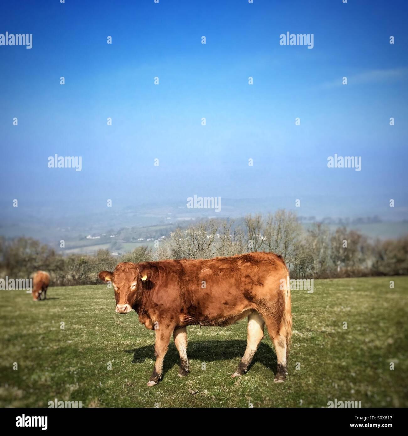 Devon Red cow in field Stock Photo