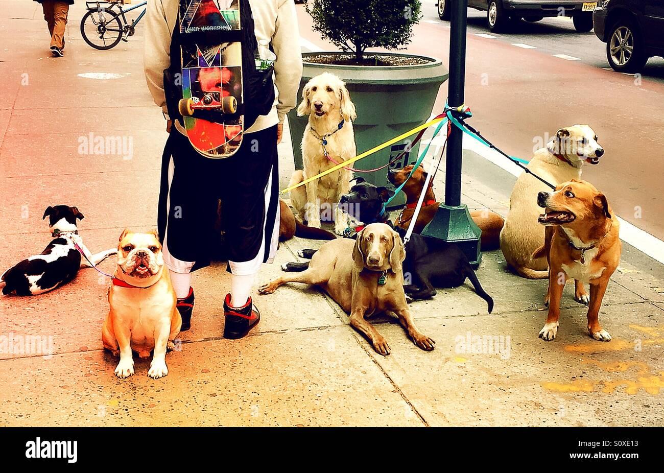Dog walker in New York City, USA Stock Photo