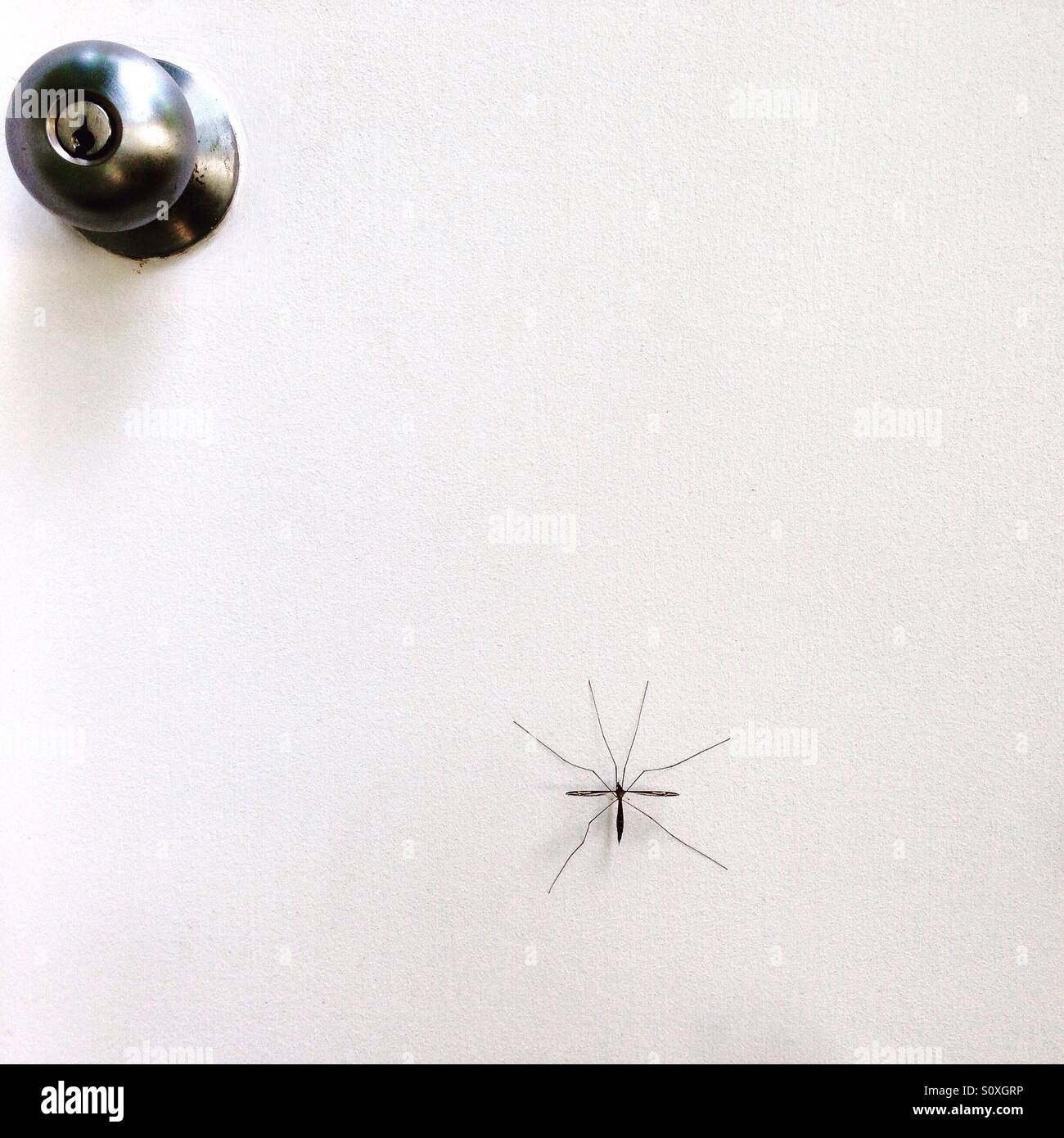 Giant crane fly trying to enter home - Stock Image