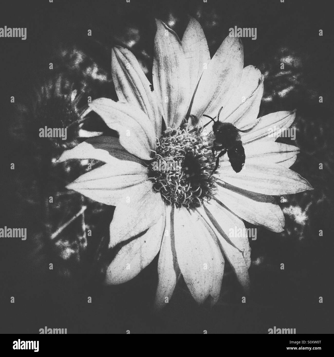 Flower in the sun with honey bee pollinating. Black and white. - Stock Image