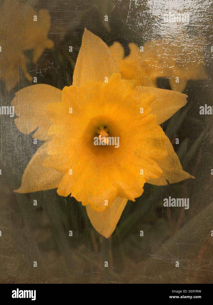 Daffodil done in the art of an old oil painting - Stock Image