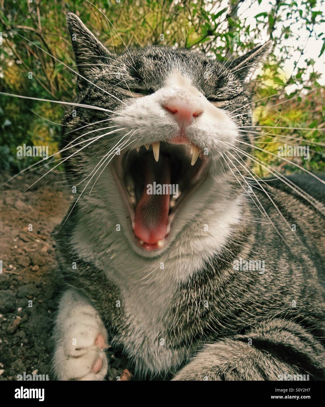 ...yawning cat...! - Stock Image
