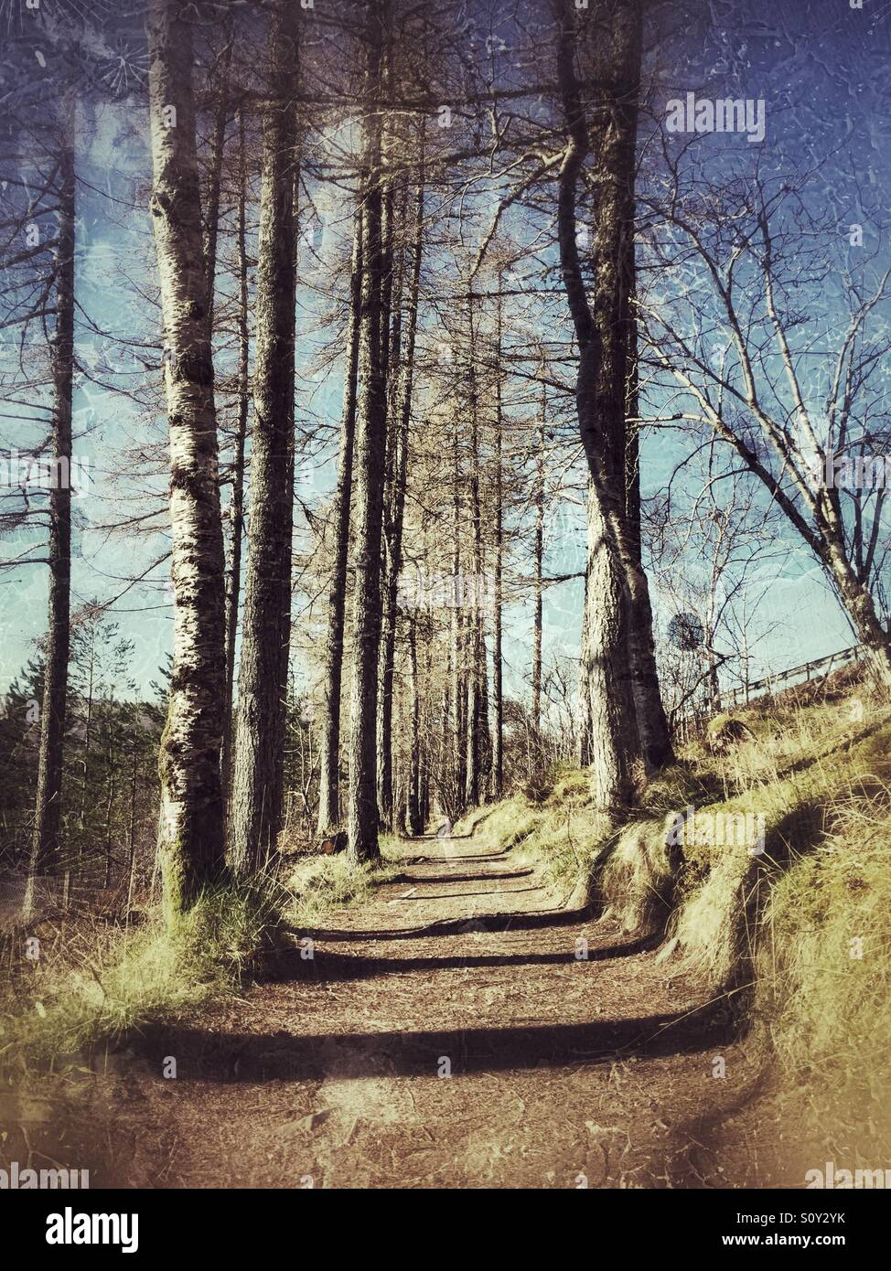 Dream like path through a forest of tall trees - Stock Image