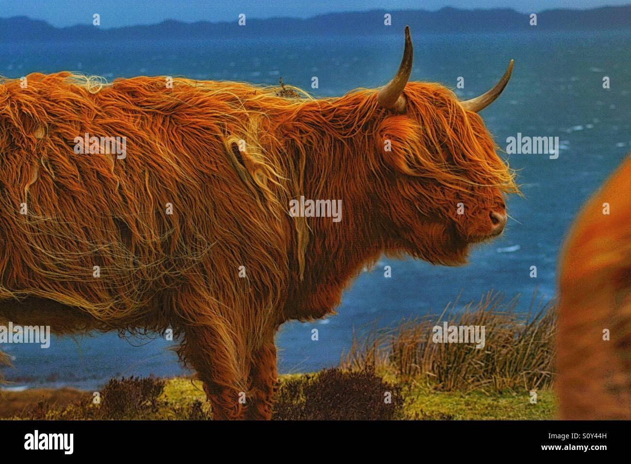 Scotland cow - Stock Image