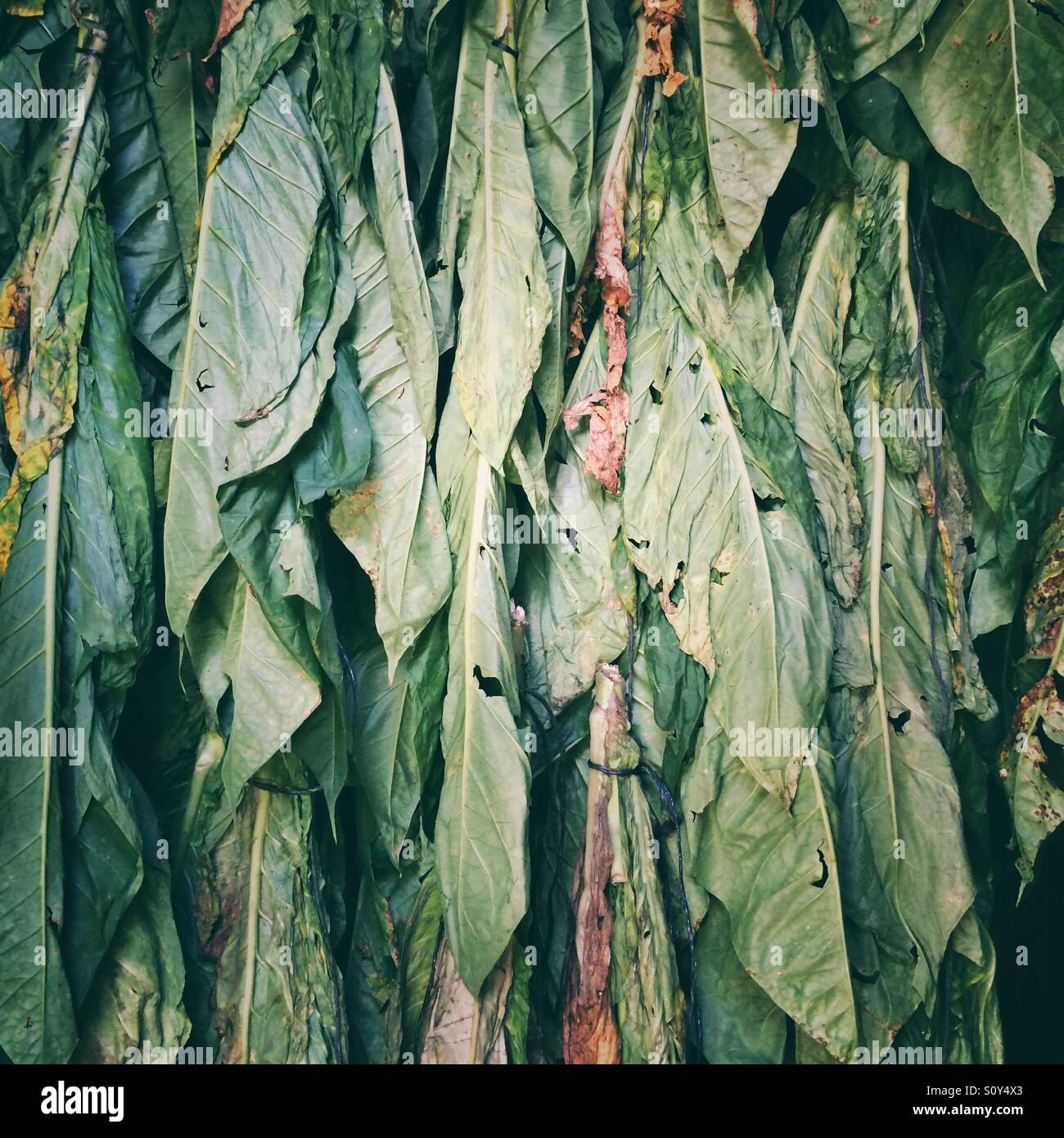 Tobacco leaves hung up and drying - Stock Image