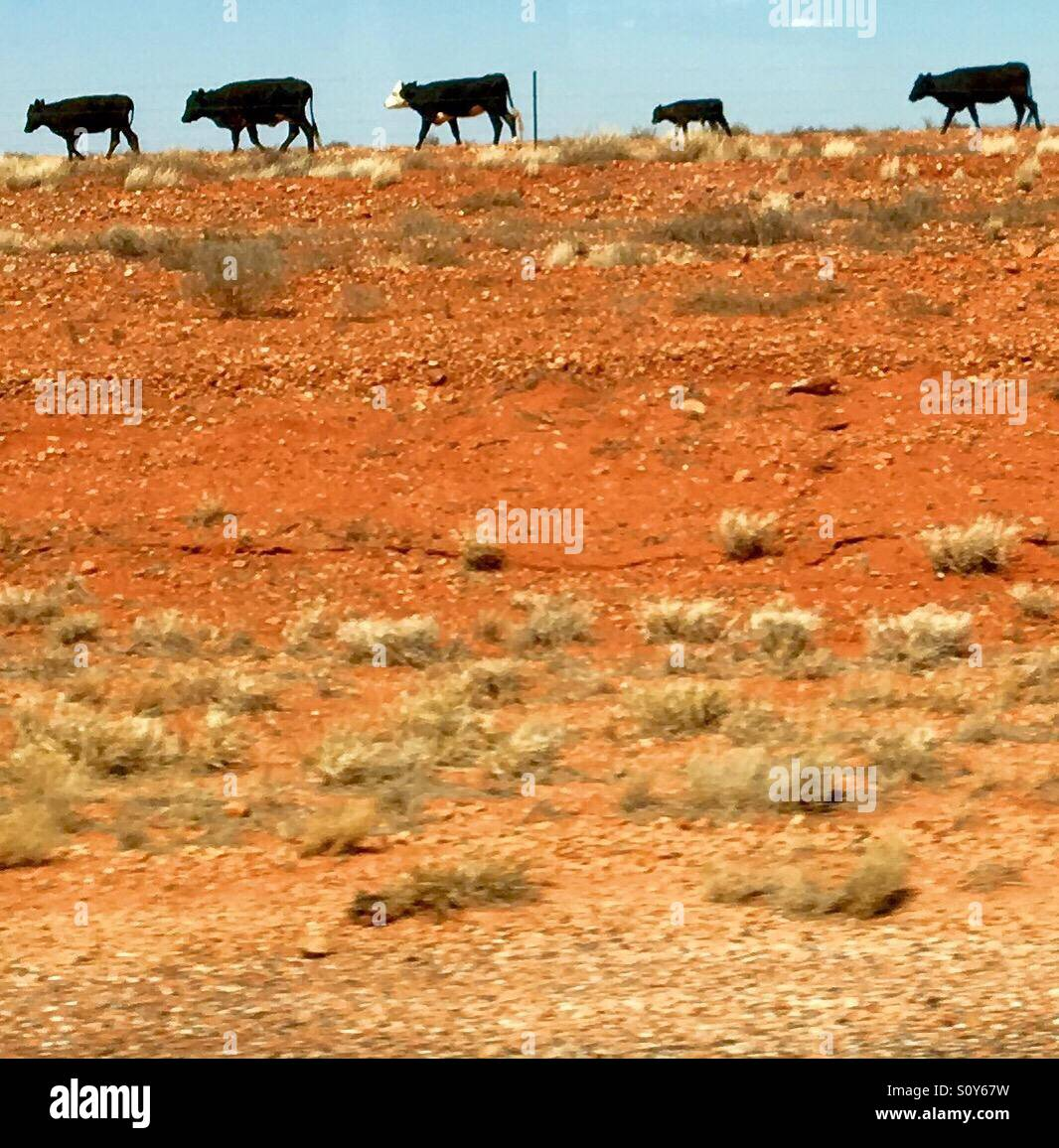 Australian outback cows - Stock Image