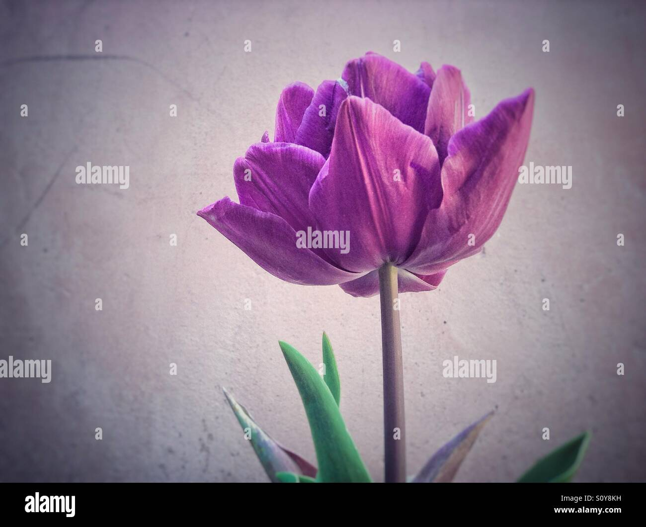 Colorful tulip flower Stock Photo