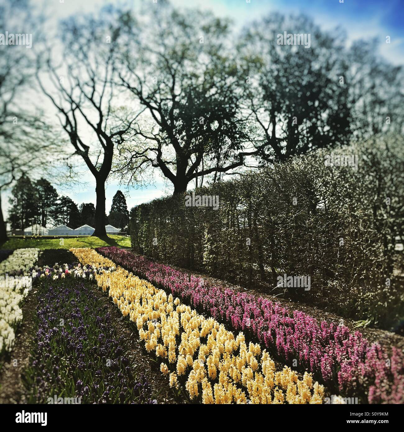 Hyacinths in striped borders in spring garden Stock Photo