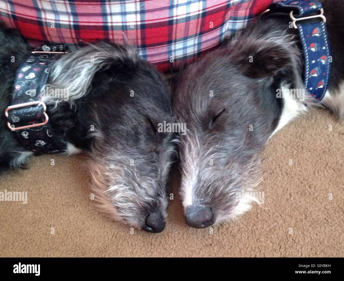 Lurched puppies, puppies, sleeping dogs Stock Photo