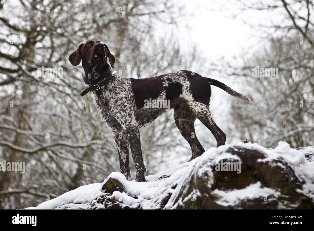 German Shorthaired Pointer dog in snow - Stock Image