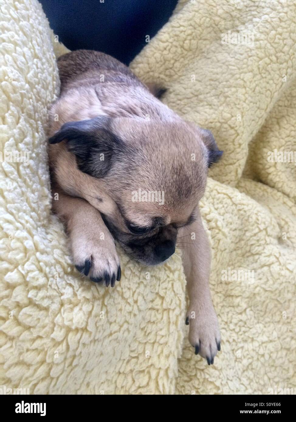 Cute pug being lazy - Stock Image
