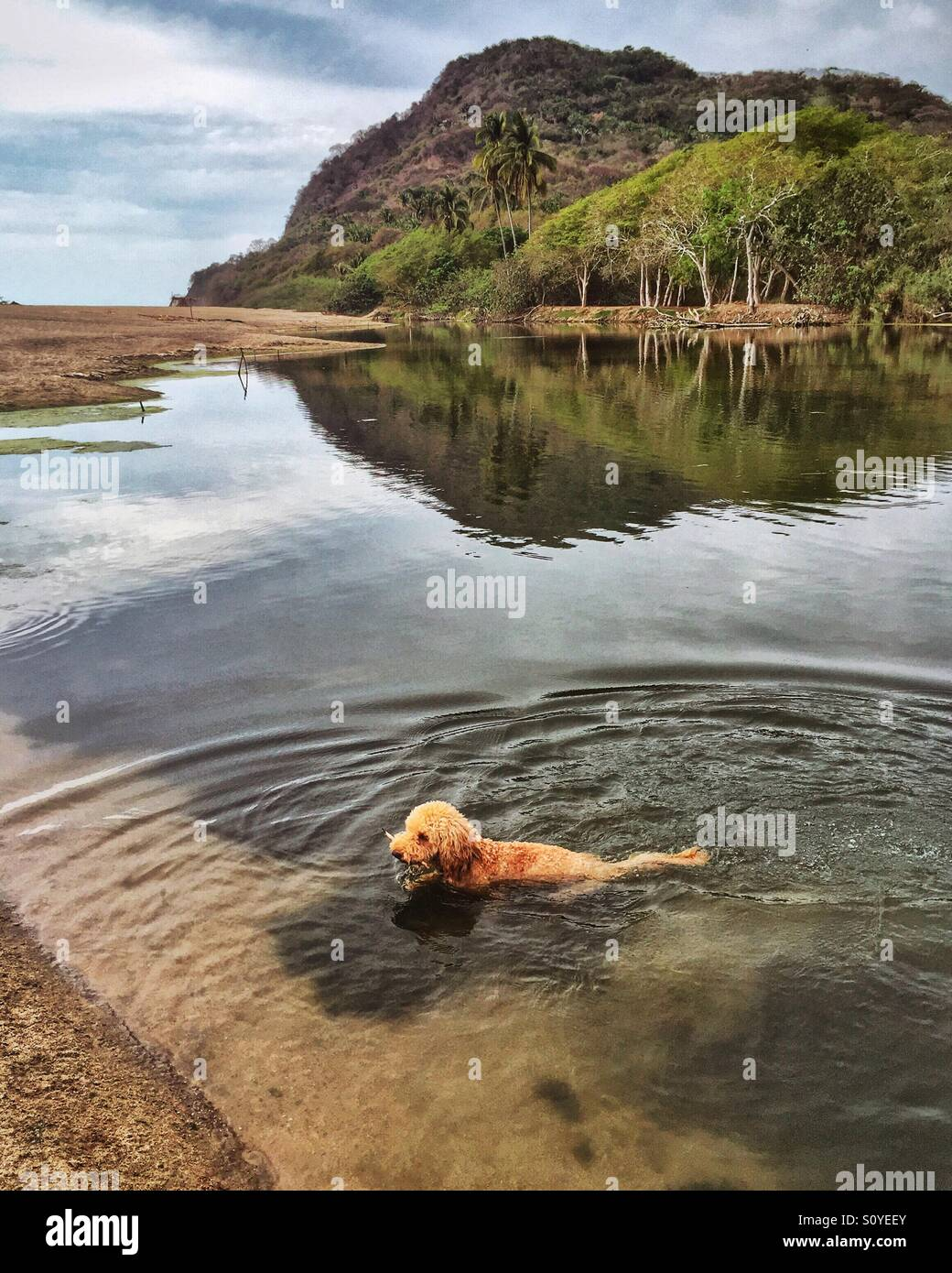 A miniature labradoodle retrieves a stick in the lagoon in Lo de Marcos, Mexico. - Stock Image
