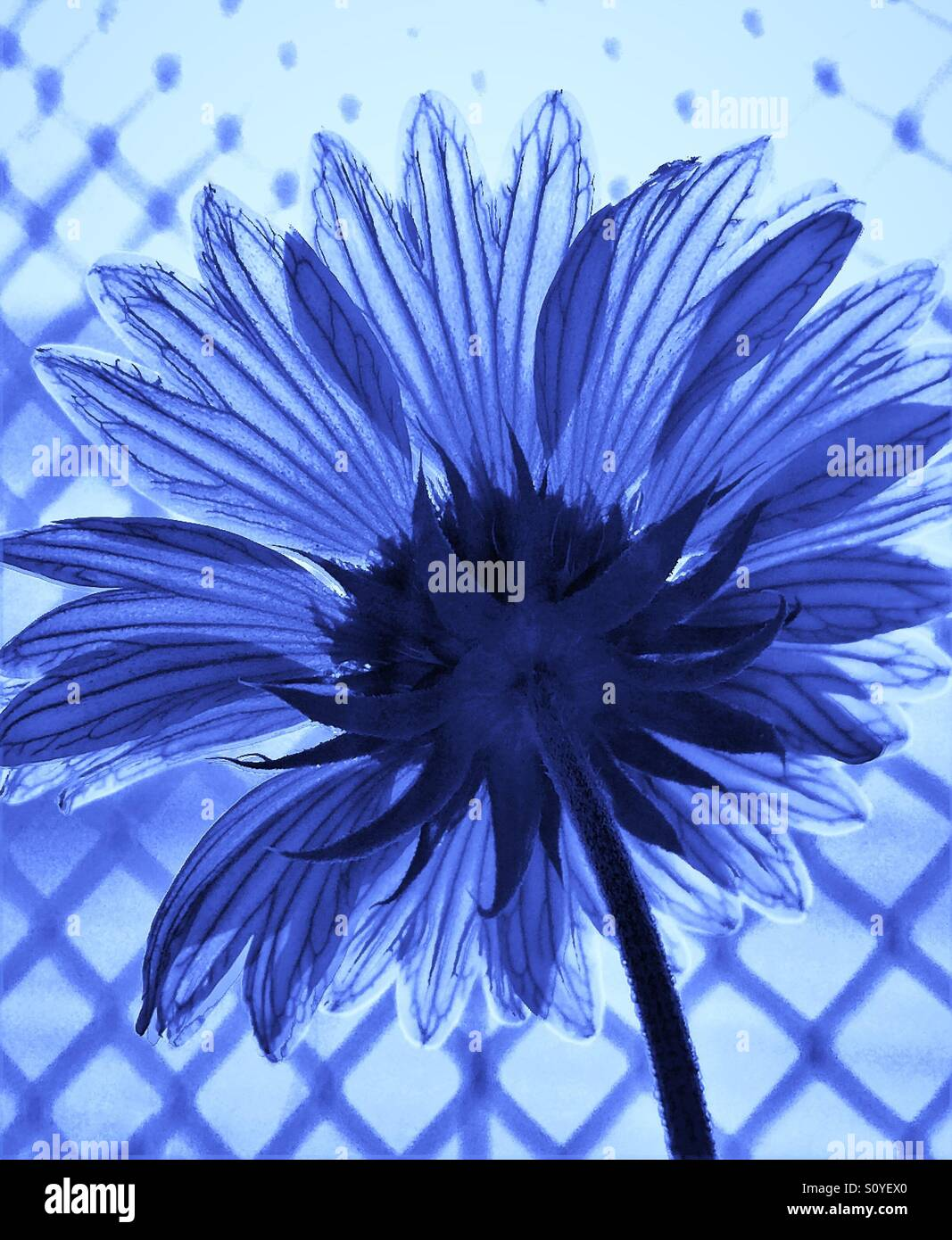Flower by the fence facing the sun in blue tint, backside view - Stock Image