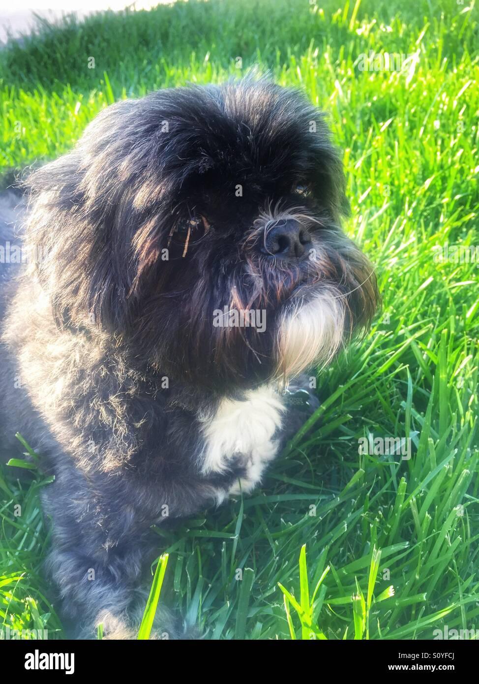 Stoic Shih Tzu dog lays in grass. - Stock Image
