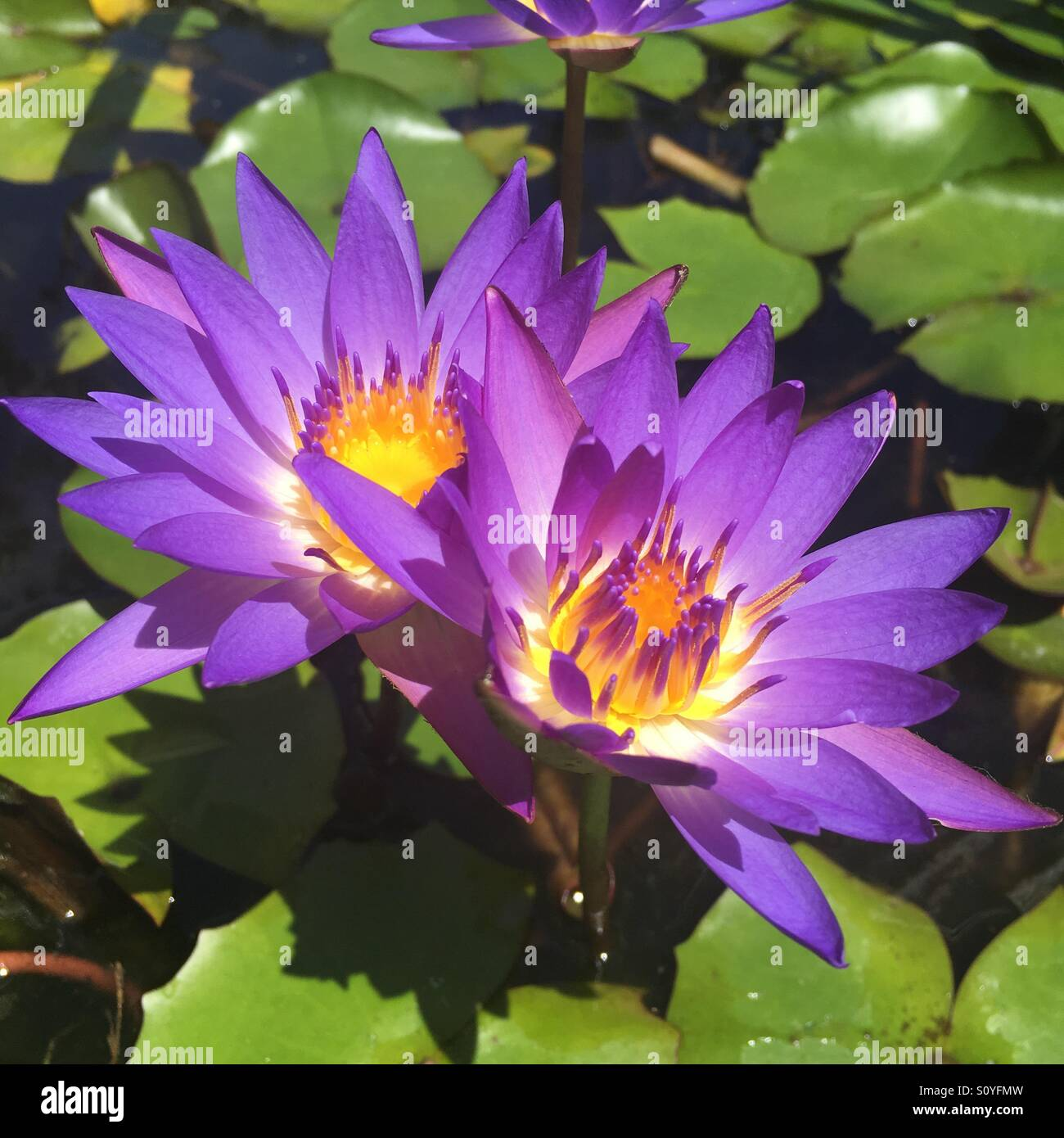 Lily pad flower stock photos lily pad flower stock images alamy purple lily pad flower izmirmasajfo