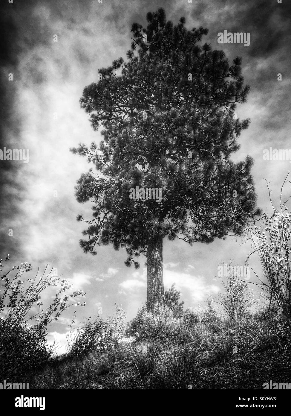 A lone pine tree standing on a hillside against a cloudy sky. In black and white. - Stock Image