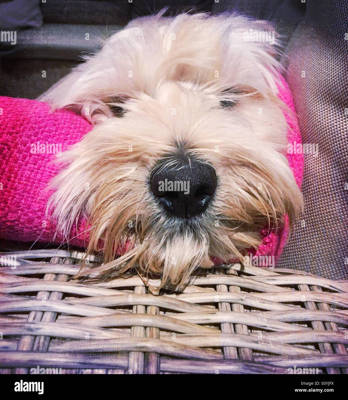 Dogs face on cushion - Stock Image