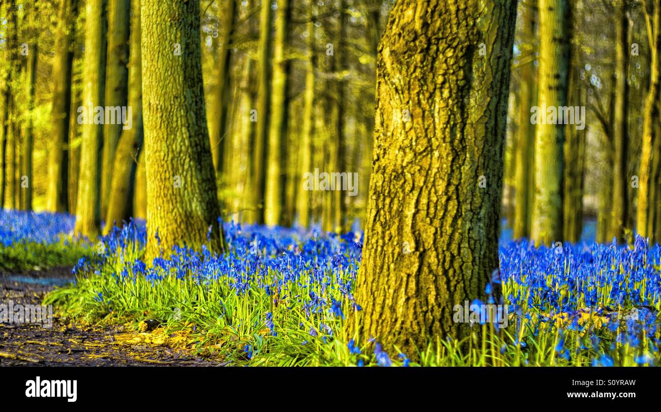 A carpet of bluebells - Stock Image