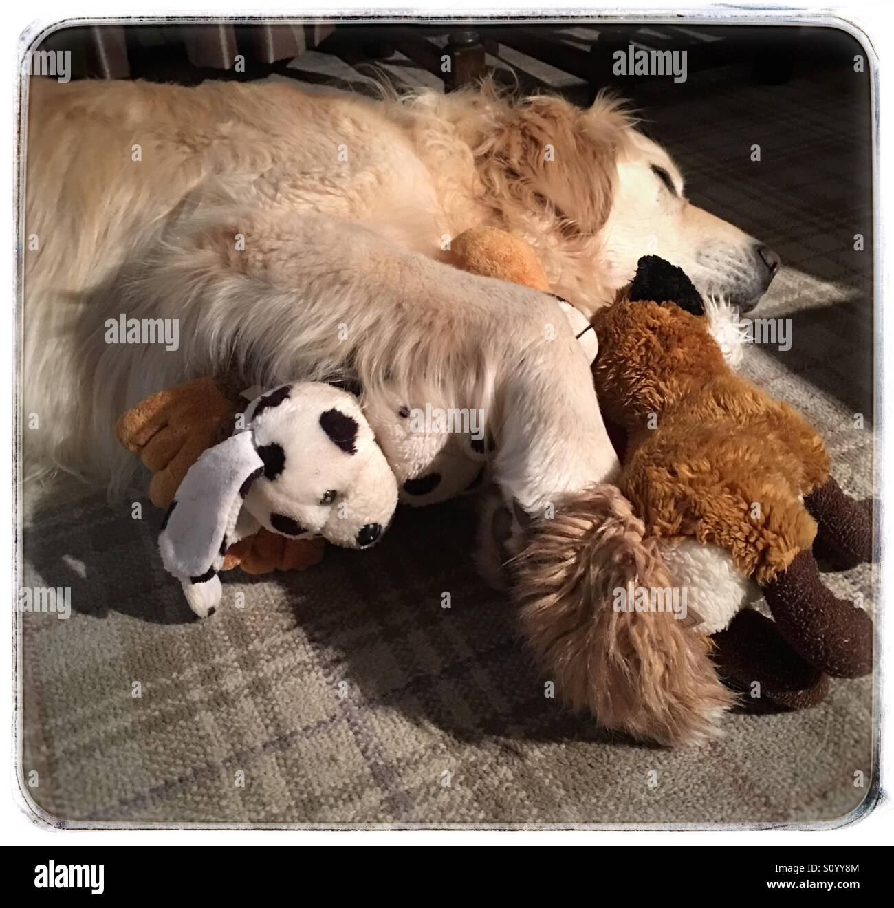 Golden retriever, called Ollie, dreaming of rabbits and walkies. Fox and dog toys keep him company while he snuggles - Stock Image