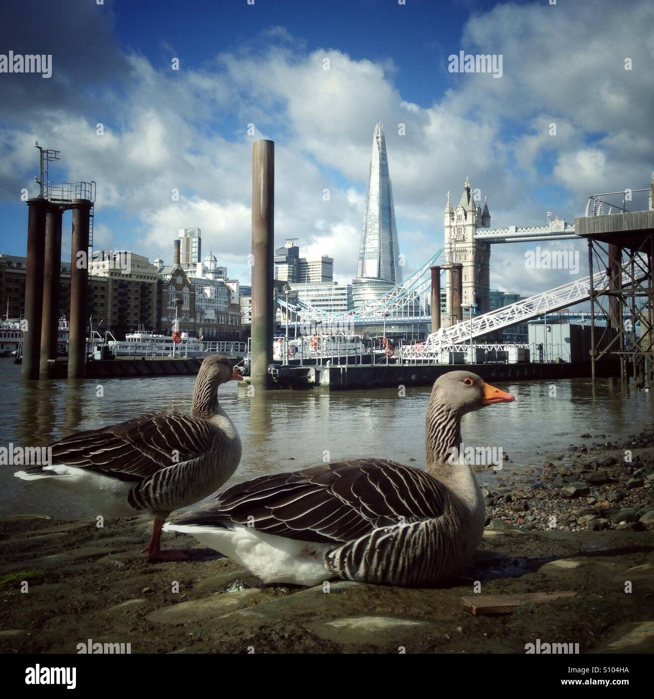 Geese on the foreshore of the river thames with tower bridge and the shard in the distance Stock Photo