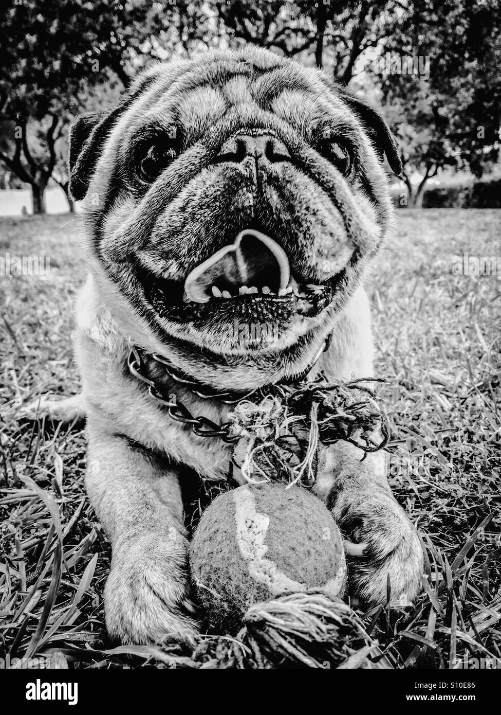 Portrait of a pug Stock Photo
