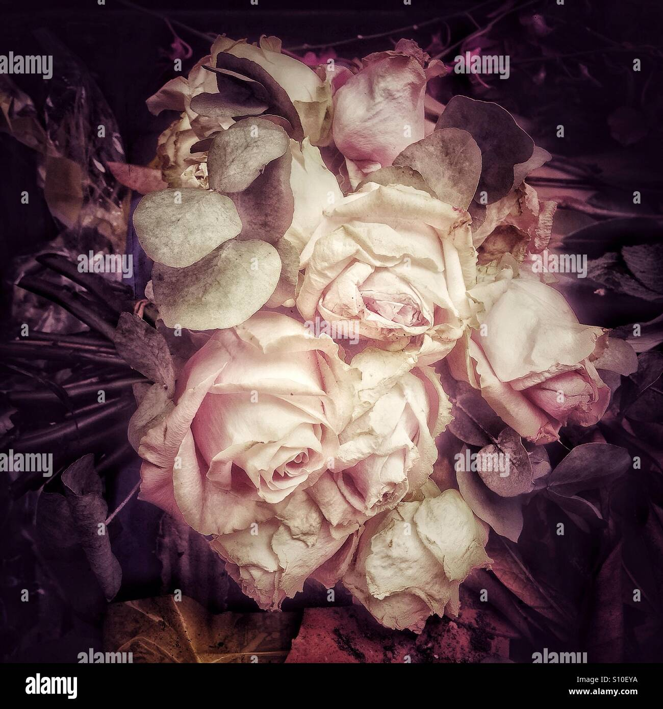 Dead roses in a painterly style - Stock Image