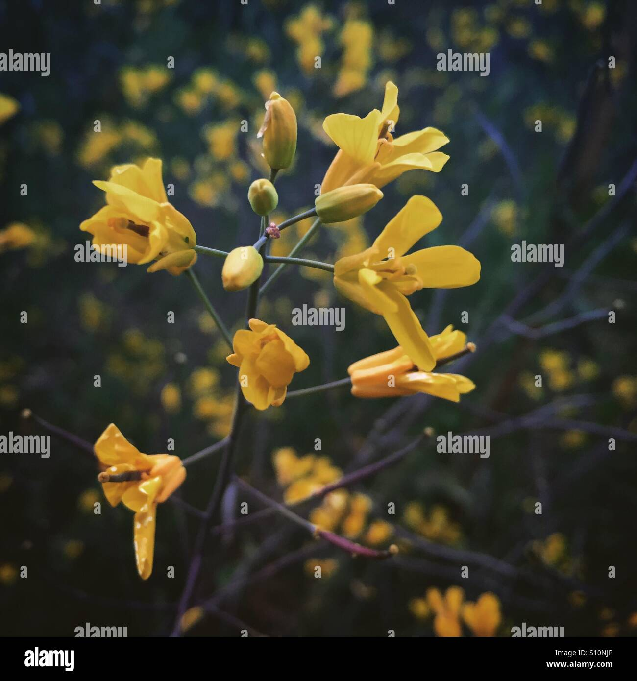 Close Up Of Yellow Flowers On A Kale Plant Gone To Seed Growing In A