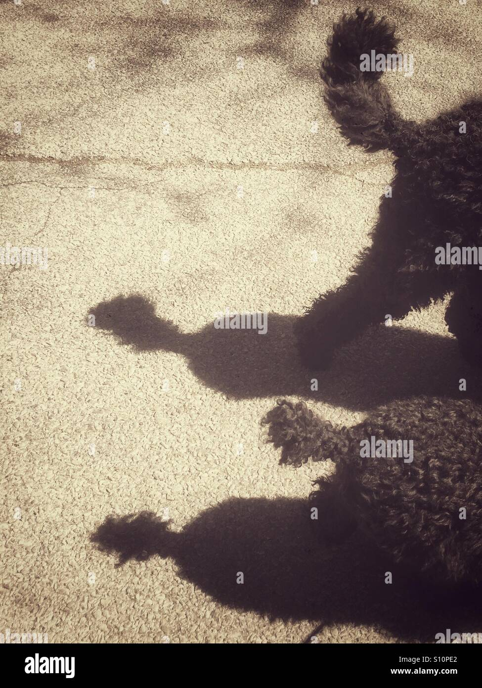 Rear ends and tails of two black poodles and their shadows in vintage monochrome look - Stock Image