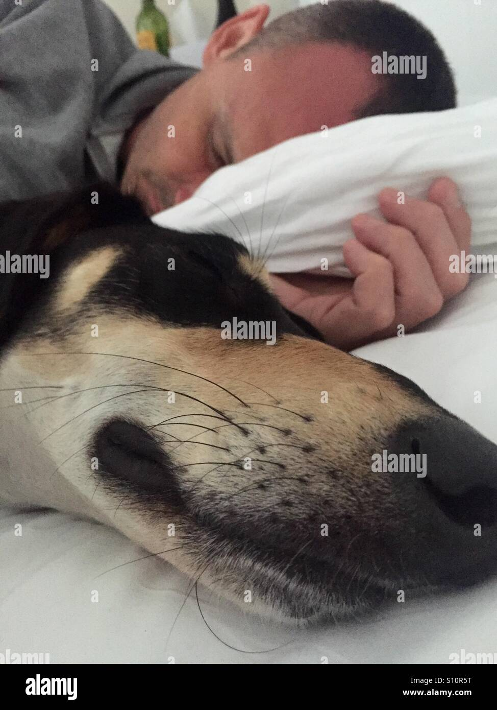Sweet dreams: Saluki dog and man asleep - Stock Image