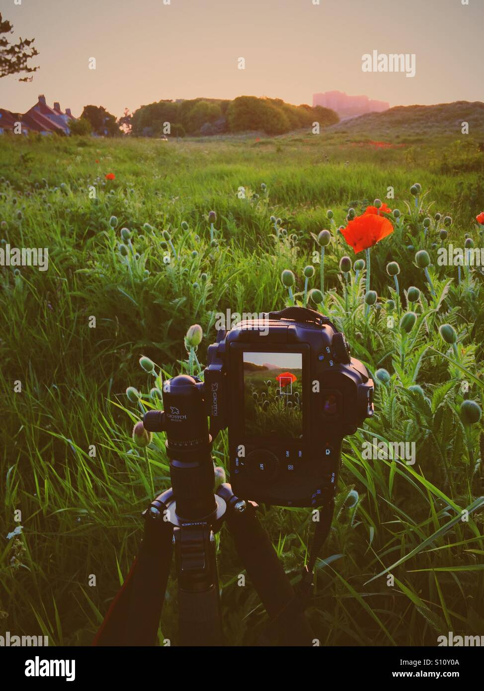 Taking photograph of poppies at Bamburgh castle - Stock Image
